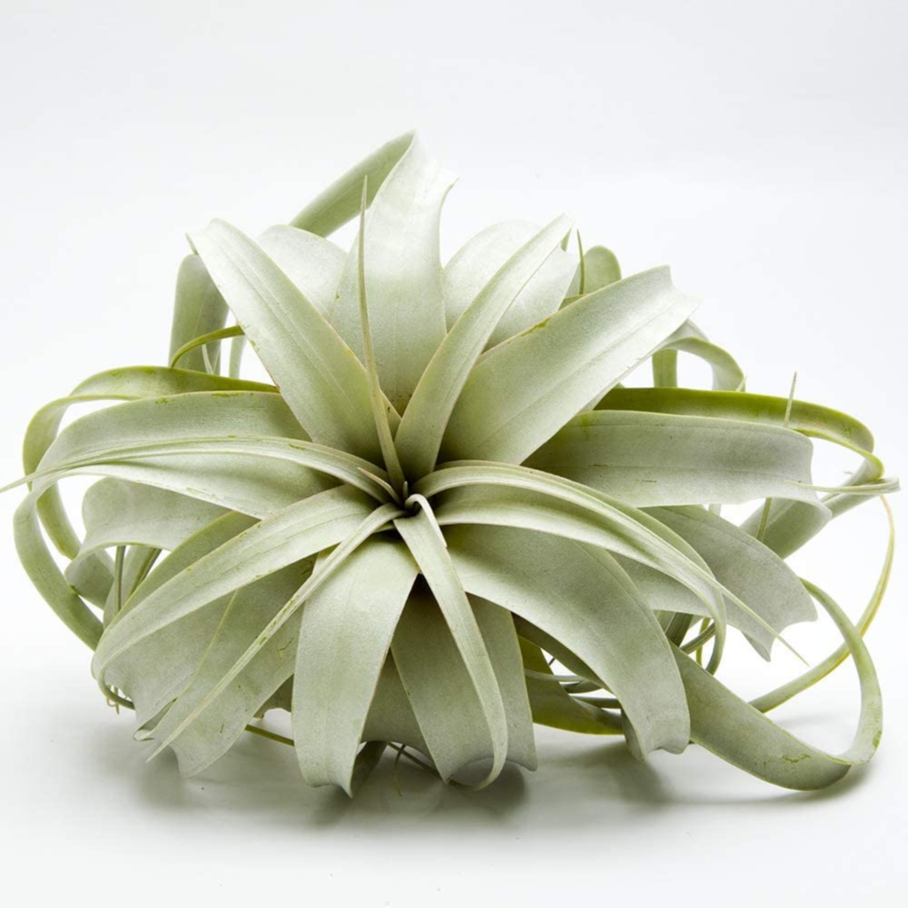 Airplant Tillandsia Xerographica