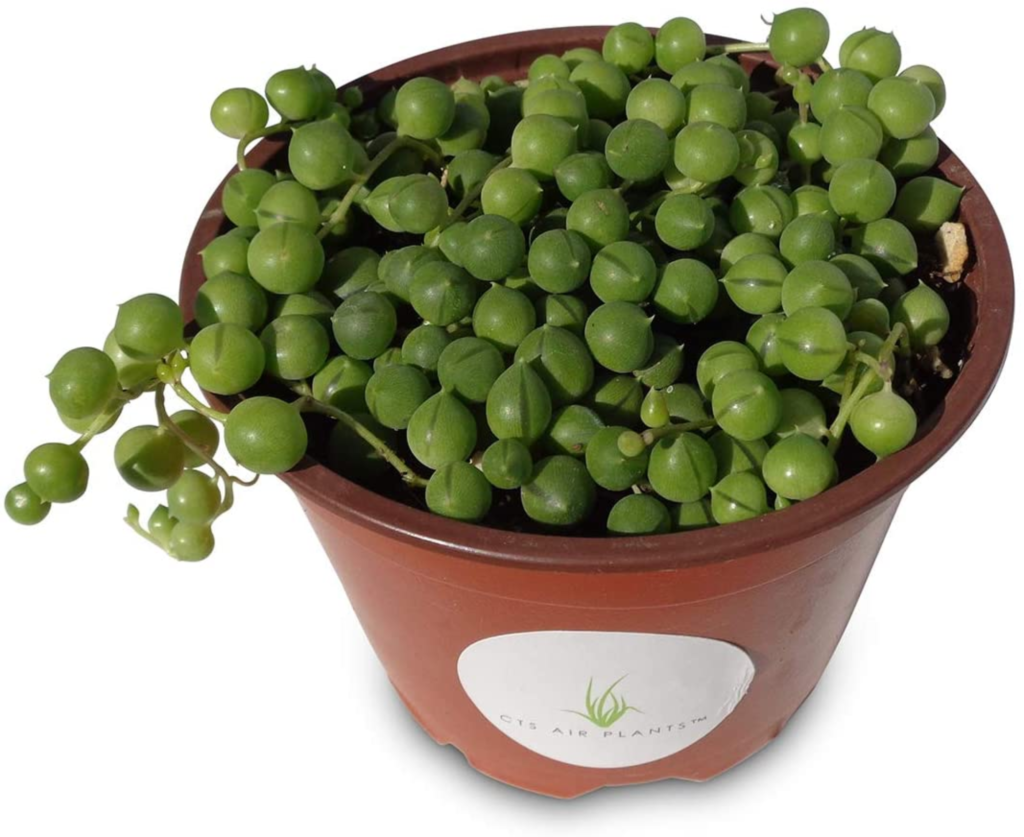 String of Pearls Succulents Senecio Rowleyanus Hanging Plants