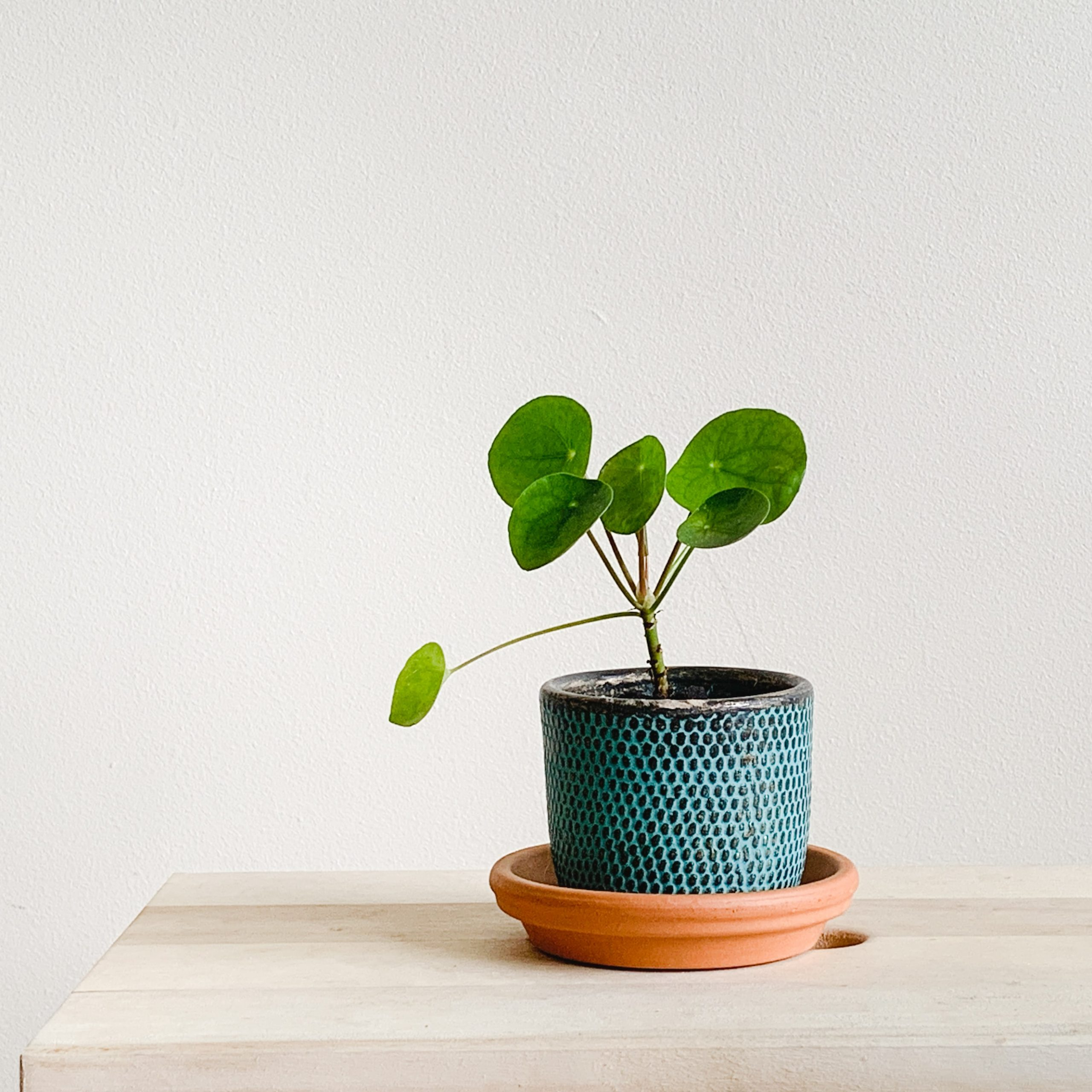 Chinese Money Plant – 6 Facts About the Plant
