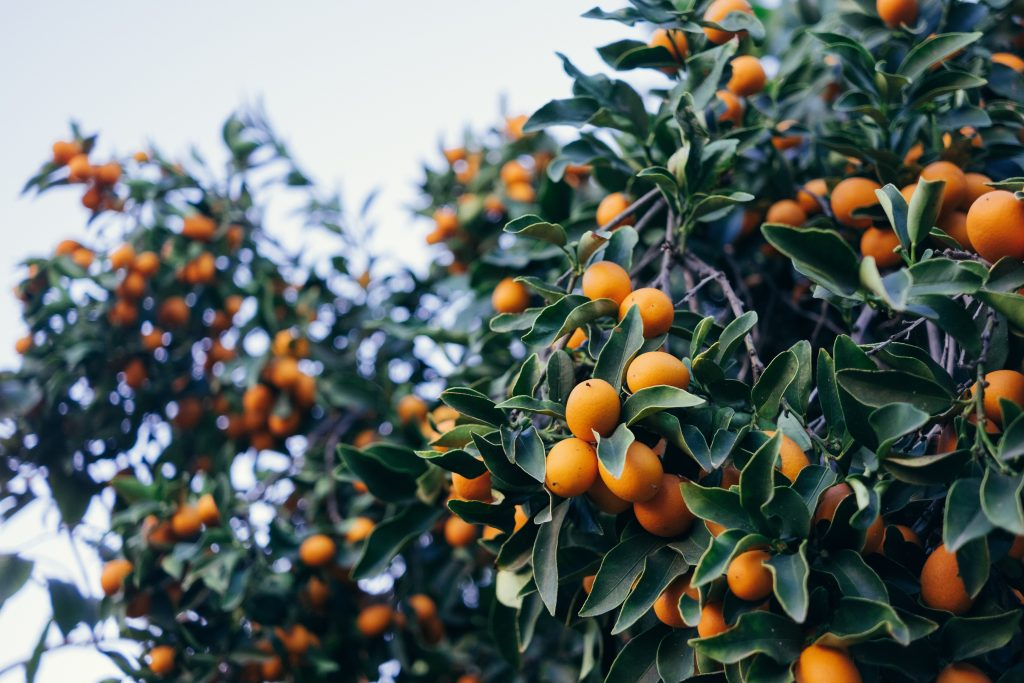 Kumquats fruits