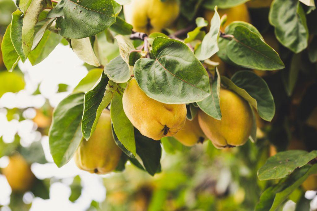 Quinces fruits